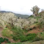 Lišejníkové stromy za městem Lanzarote